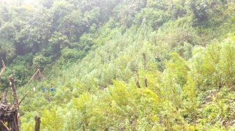Lima Hektar Ladang Narkotika Jenis Ganja Dimusnahkan di Wilayah Hukum Polres Madina
